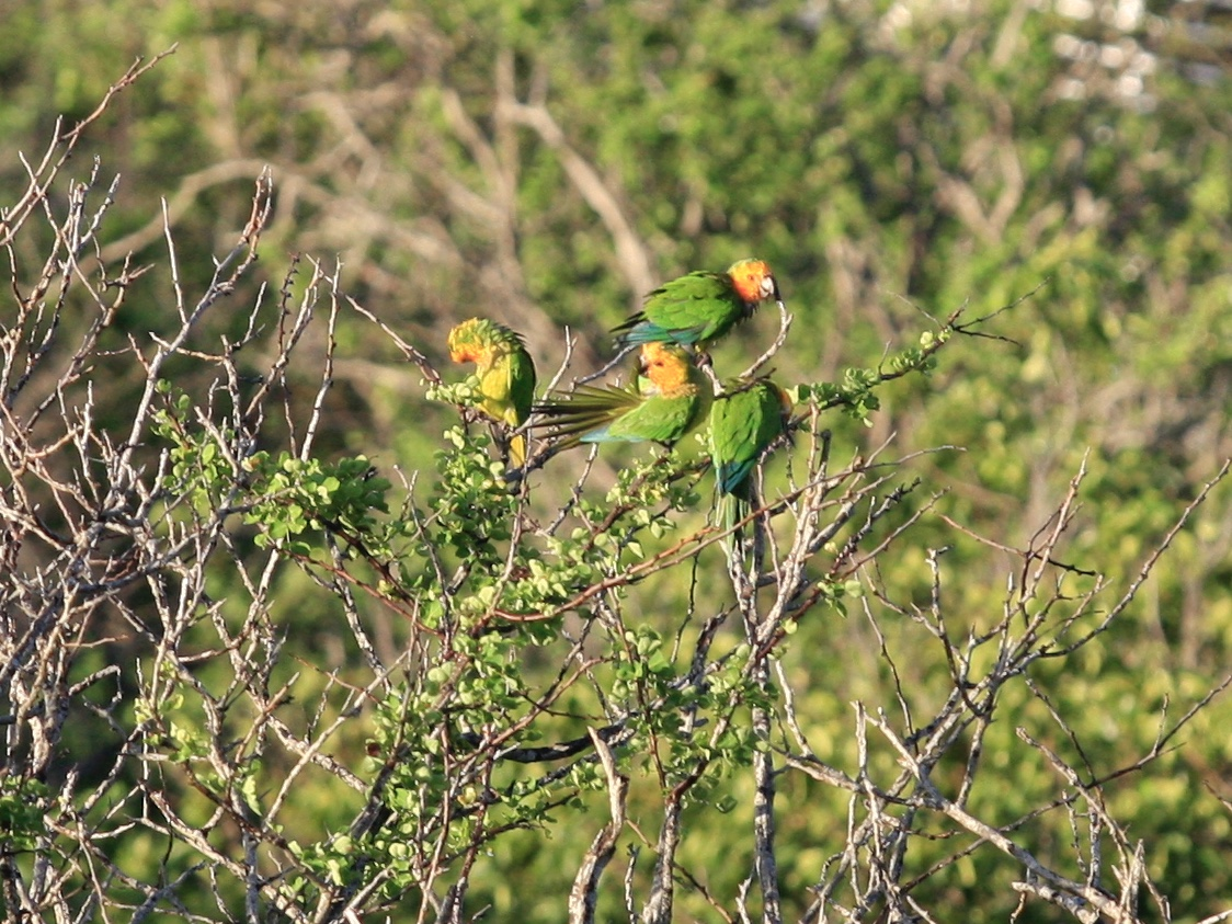 Local parakeets in the tropical green of the hillside vegetation